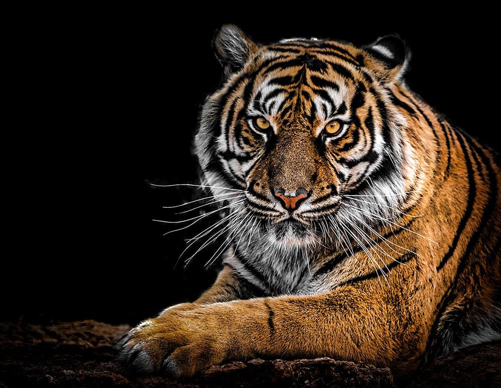yeux du tigre